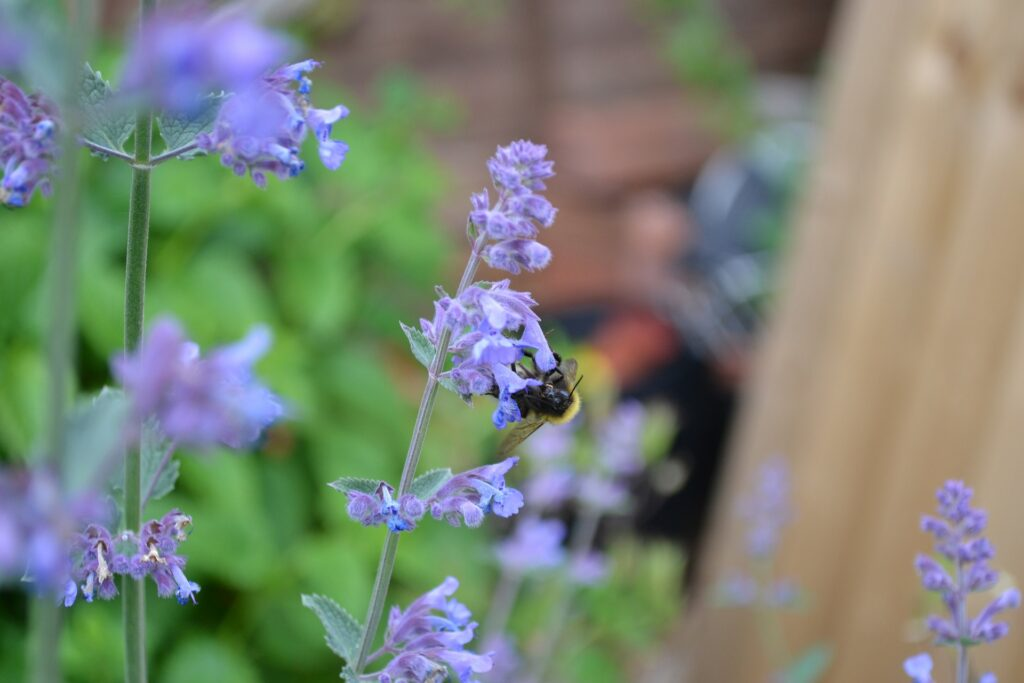 catmint plant