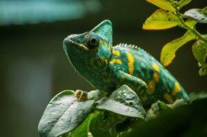chameleon-green