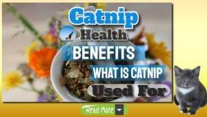 catnip health benefits